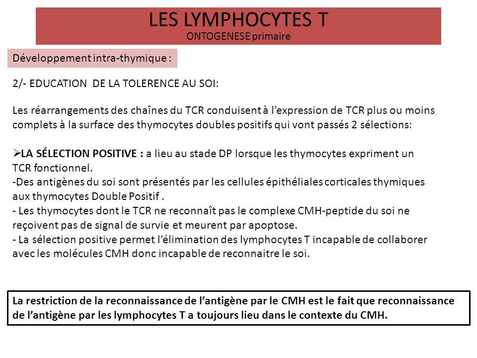 LES LYMPHOCYTES T ONTOGENESE primaire Développement intra-thymique : 2/- EDUCATION DE LA TOLERENCE AU SOI: LA SÉLECTION NÉGATIVE: a lieu à la jonction cortico-médullaire au contact des cellules dendritiques médullaires.