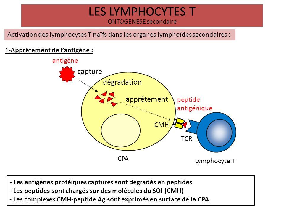 LES LYMPHOCYTES T ONTOGENESE secondaire Activation des lymphocytes T naïfs dans les organes lymphoïdes secondaires : dégradation protéolytique peptides Molécules du CMH association et expression membranaire Complexes CMH-peptide antigène exogène antigène endogène Cellule présentatrice Lymphocytes T (CPA) classe I classe II TCR spécifique CD8+ CD4+ 2-Présentation antigénique: