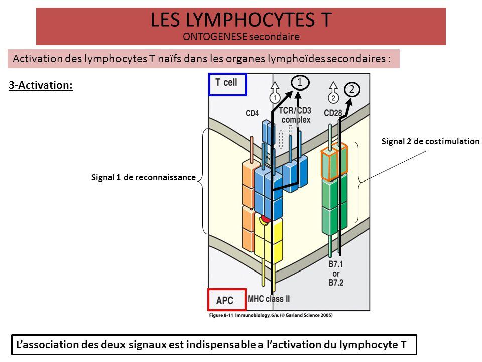 LES LYMPHOCYTES T ONTOGENESE secondaire Activation des lymphocytes T naïfs dans les organes lymphoïdes secondaires : 4-Prolifération et différenciation: CPA Lymphocyte T CMH II Activation Le troisième signal est délivré au lymphocyte T par les cytokines secrétées par la CPA - La différenciation du lymphocyte T activé donne naissance à des sous populations lymphocytaires différentes