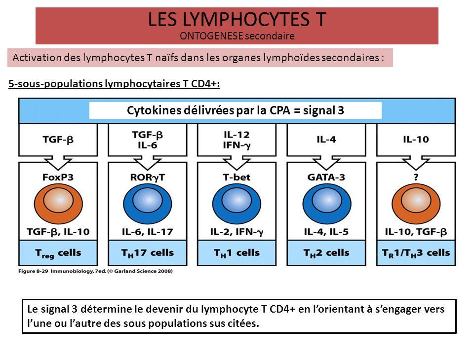LES LYMPHOCYTES T ONTOGENESE secondaire Activation des lymphocytes T naïfs dans les organes lymphoïdes secondaires : 5-sous-populations lymphocytaires