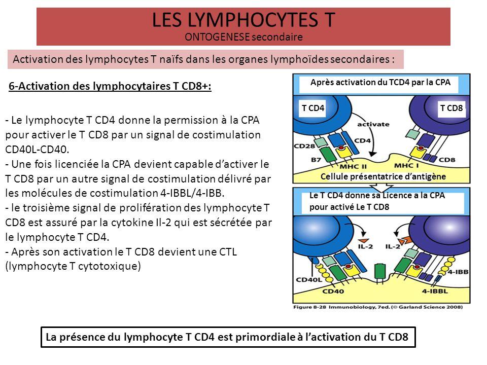 LES LYMPHOCYTES T ONTOGENESE secondaire Activation des lymphocytes T naïfs dans les organes lymphoïdes secondaires : 6-Activation des lymphocytaires T