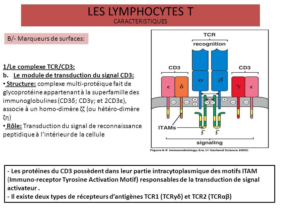 LES LYMPHOCYTES T CARACTERISTIQUES B/- Marqueurs de surfaces: 2/Les corécepteurs CD4 et CD8: -Le CD4: marqueur des lymphocytes T auxilliaires ( T helper) Structure: glycoprotéine appartenant à la superfamille des immunoglobulines Rôle: Liaison spécifique au CMH de classe II -Le CD8: marqueur des lymphocytes T cytotoxiques (CTL) Structure: Hétéro-dimère de glycoprotéines αβ appartenant à la superfamille des immunoglobulines Rôle: Liaison spécifique au CMH de classe I - Les molécules CD4 et CD8 stabilisent linteraction CMH/TCR en interagissant avec une partie faiblement polymorphe du CMH et participent à la signalisation intracellulaire en recrutant des kinases de type lck..