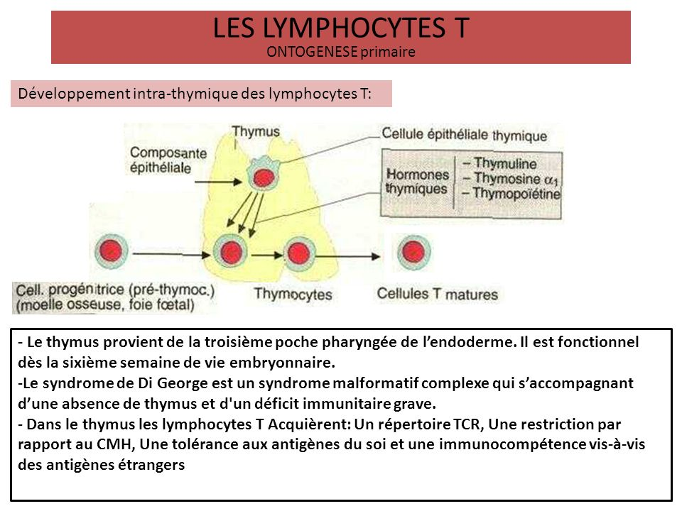 LES LYMPHOCYTES T ONTOGENESE primaire Développement intra-thymique : Acquisition du répertoire T Sélection clonales positive puis négative Immunocompétence -Dans le thymus le thymocyte passe par 3 stades de maturation : Le stade de thymocyte double négatif, puis le stade de thymocytes double positif et enfin le stade de thymocyte simple positif.