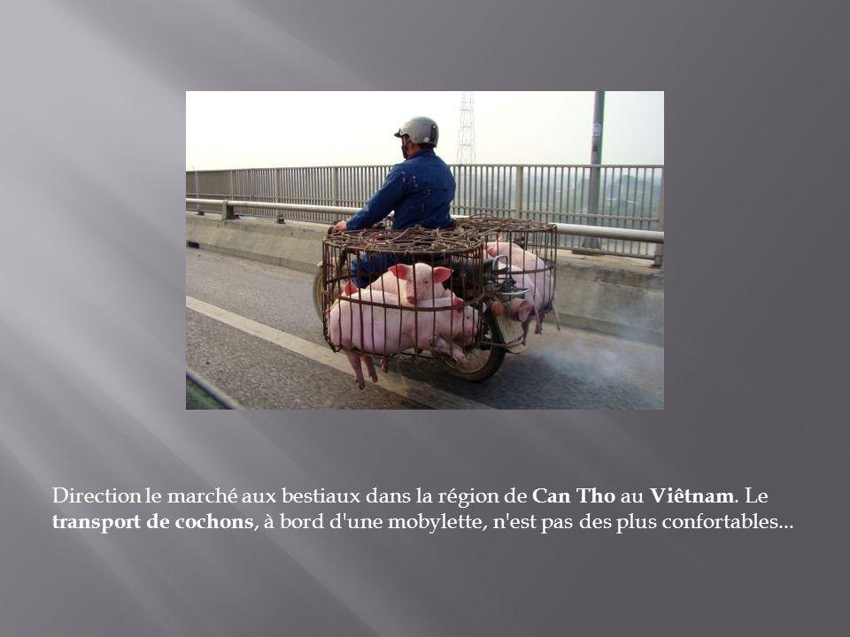 Voir des bœufs tirer des charrettes le long des grands axes bondés de véhicules est une scène de vie commune au Cambodge. Souvent utilisés pour les tr