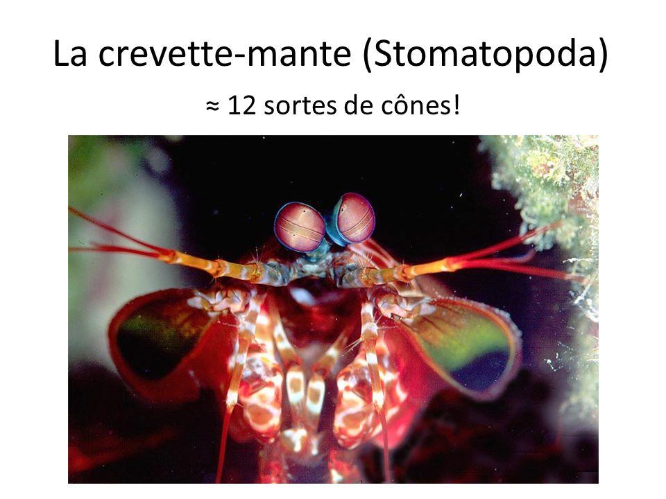 La crevette-mante (Stomatopoda) 12 sortes de cônes!