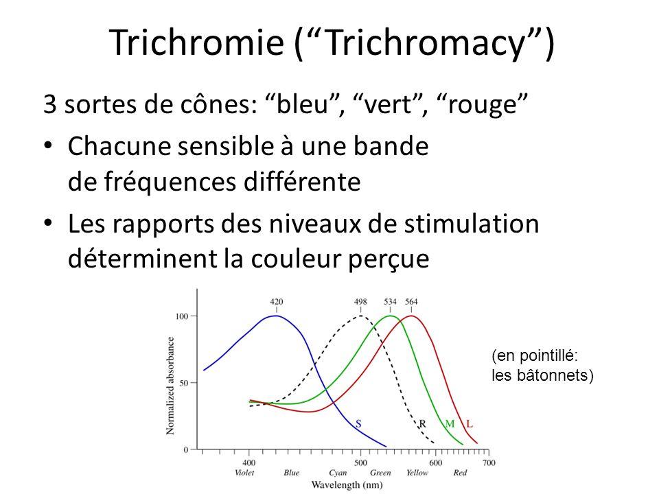 Trichromie (Trichromacy) 3 sortes de cônes: bleu, vert, rouge Chacune sensible à une bande de fréquences différente Les rapports des niveaux de stimulation déterminent la couleur perçue (en pointillé: les bâtonnets)