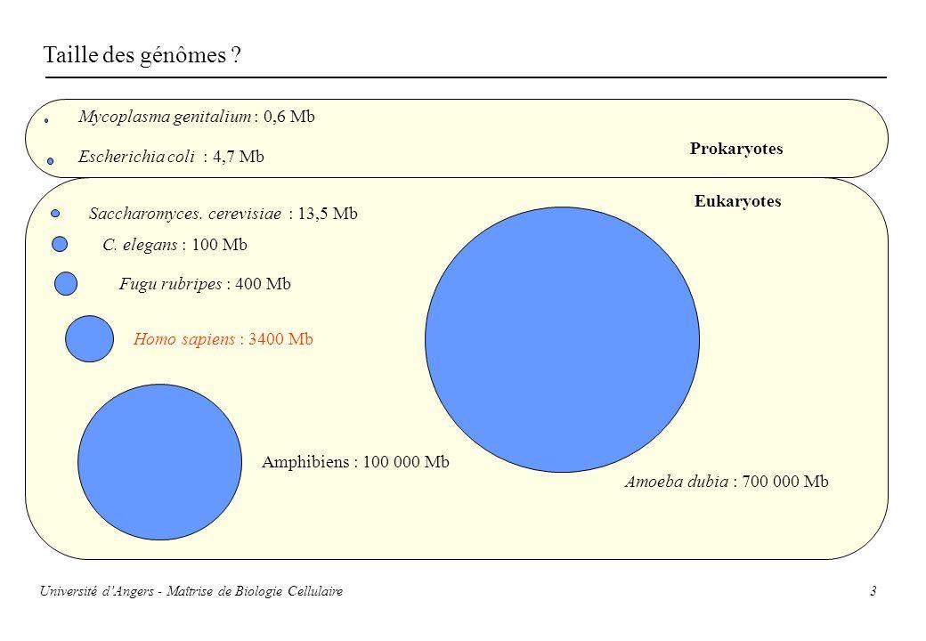 3 Taille des génômes ? Mycoplasma genitalium : 0,6 Mb Escherichia coli : 4,7 Mb Saccharomyces. cerevisiae : 13,5 Mb C. elegans : 100 Mb Amoeba dubia :