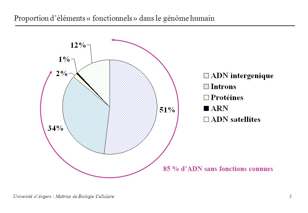 5 Proportion déléments « fonctionnels » dans le génôme humain 85 % dADN sans fonctions connues Université dAngers - Maîtrise de Biologie Cellulaire