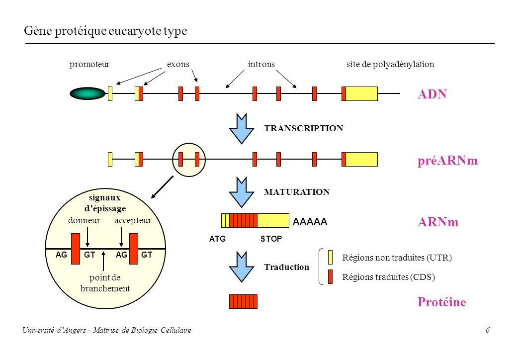6 Gène protéique eucaryote type promoteurexonsintronssite de polyadénylation TRANSCRIPTION MATURATION AAAAA ATGSTOP Traduction Régions non traduites (