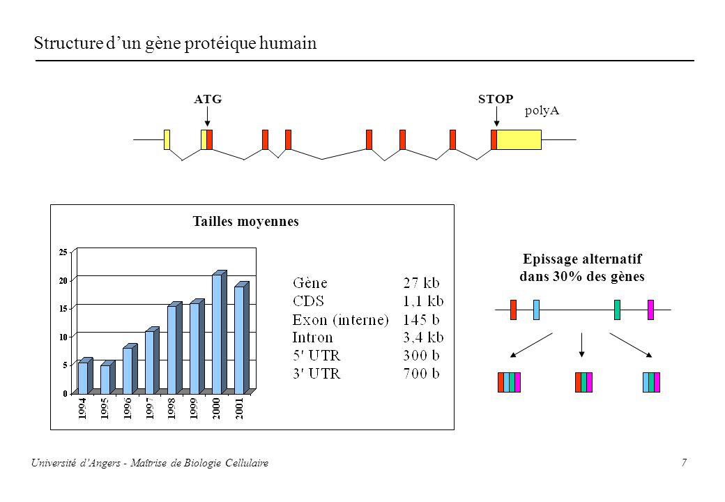 7 Structure dun gène protéique humain ATG polyA STOP Epissage alternatif dans 30% des gènes Tailles moyennes Université dAngers - Maîtrise de Biologie