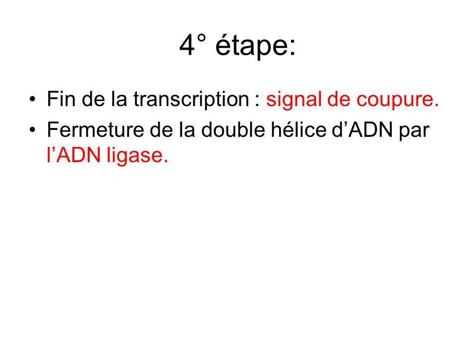 4° étape: Fin de la transcription : signal de coupure. Fermeture de la double hélice dADN par lADN ligase.