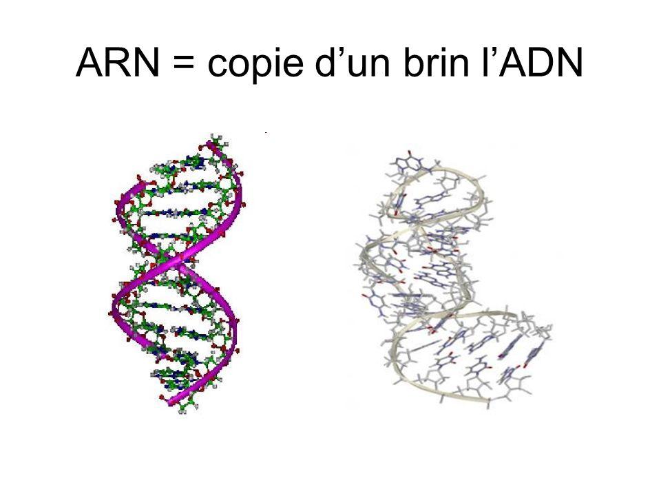 ARN = copie dun brin lADN
