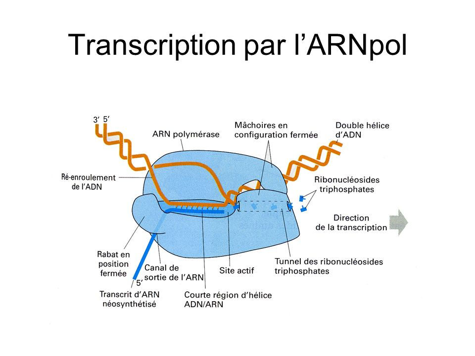 Transcription par lARNpol