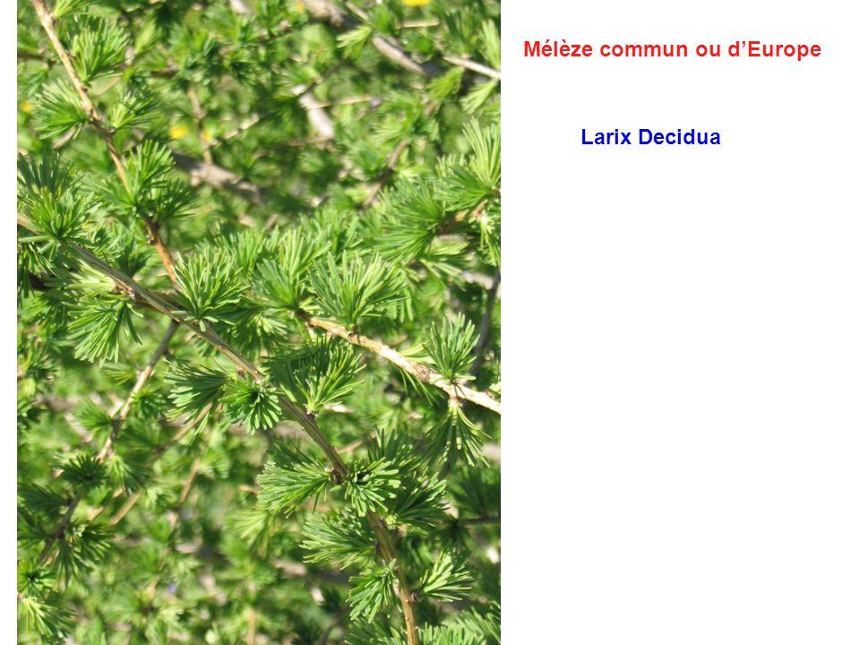 Mélèze commun ou dEurope Larix Decidua