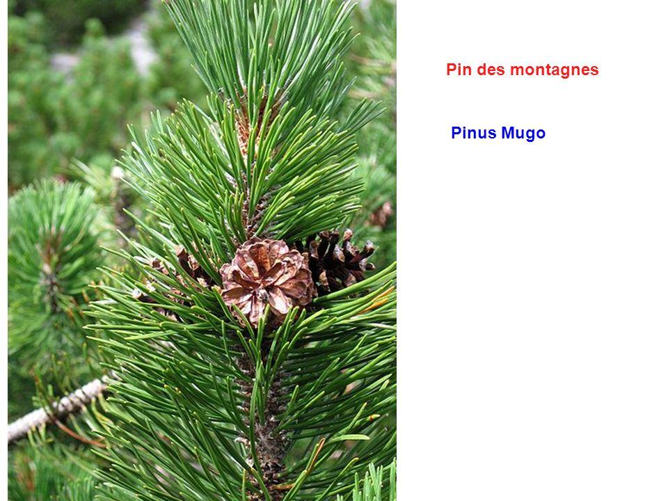 Pin des montagnes Pinus Mugo