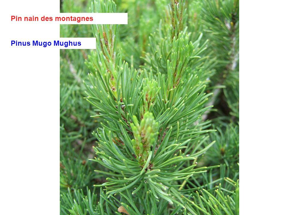 Pin nain des montagnes Pinus Mugo Mughus