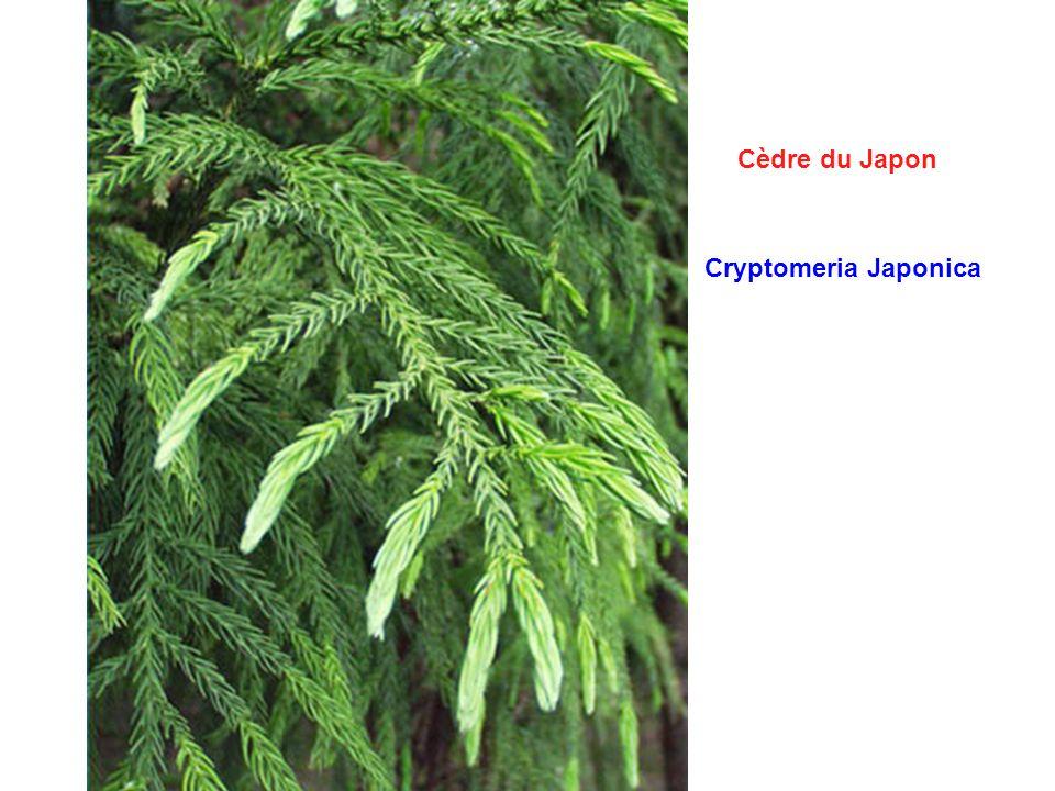 Cèdre du Japon Cryptomeria Japonica