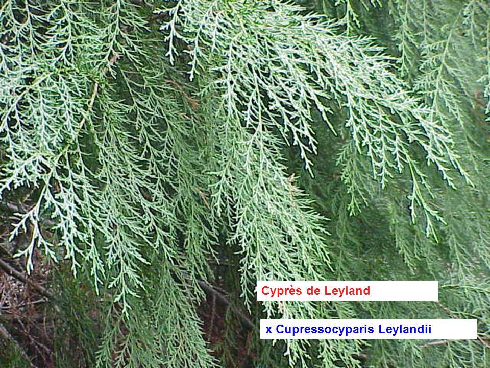 Cyprès de Leyland x Cupressocyparis Leylandii