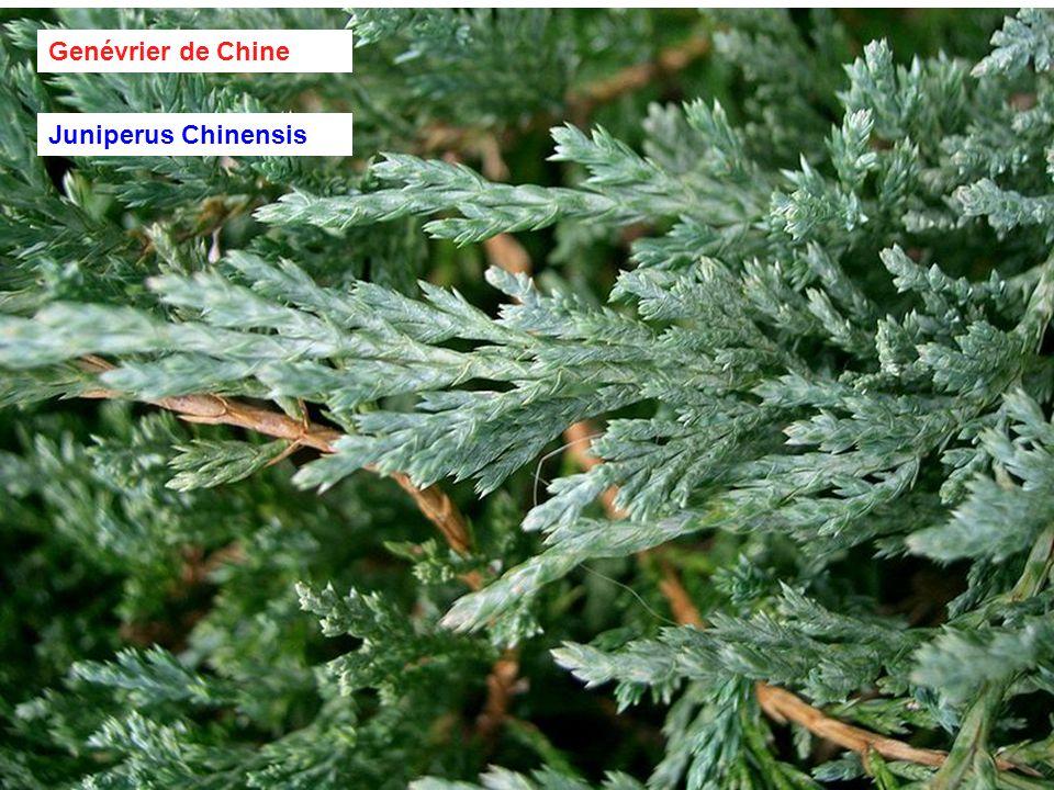 Genévrier de Chine Juniperus Chinensis