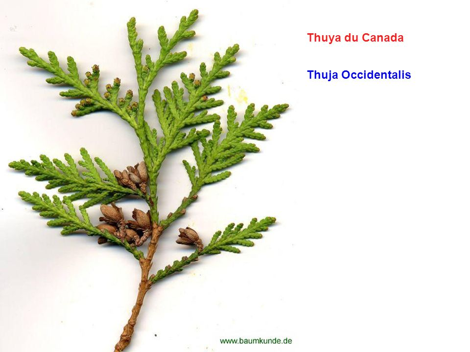 Thuya du Canada Thuja Occidentalis