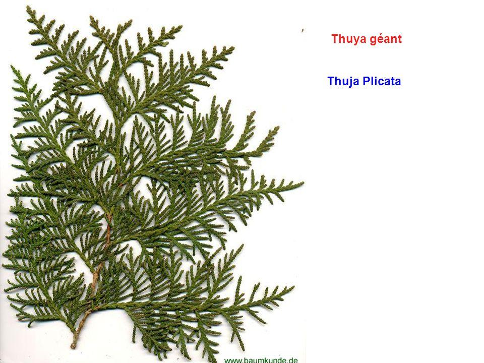 Thuya géant Thuja Plicata