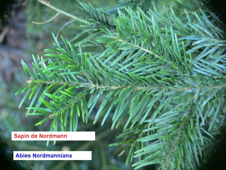 Epicea commun Picea Abies