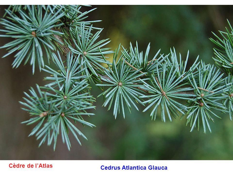 Cèdre de lAtlas Cedrus Atlantica Glauca