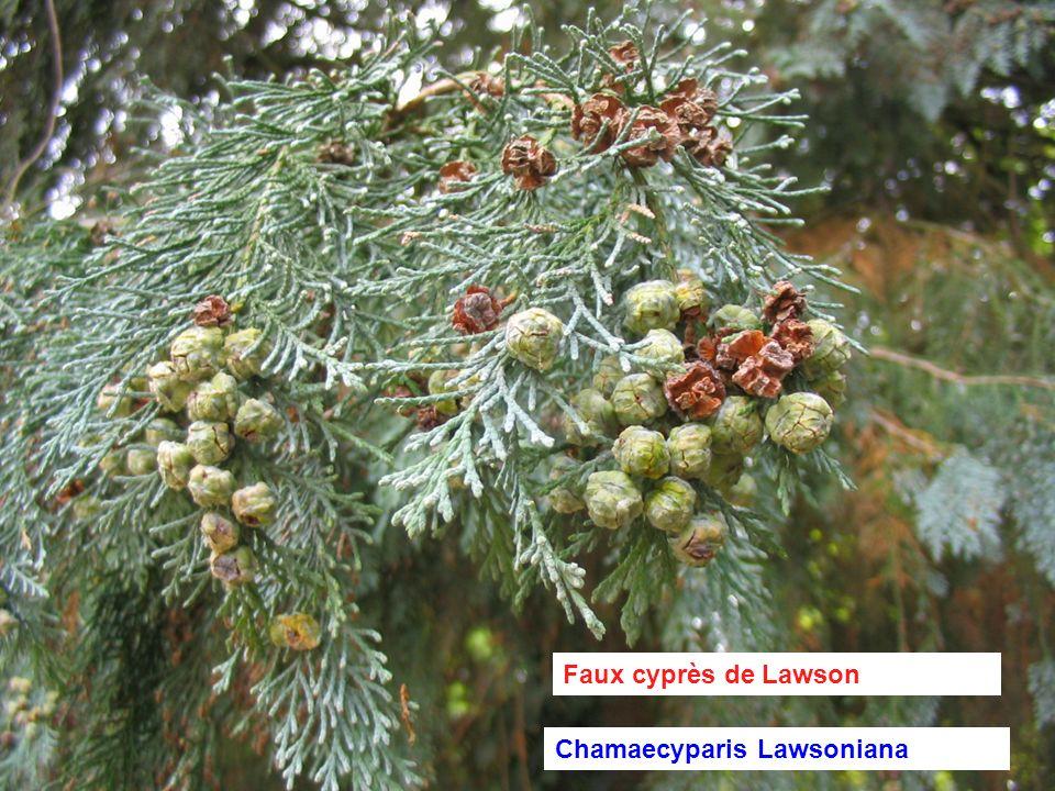 Faux cyprès de Lawson Chamaecyparis Lawsoniana