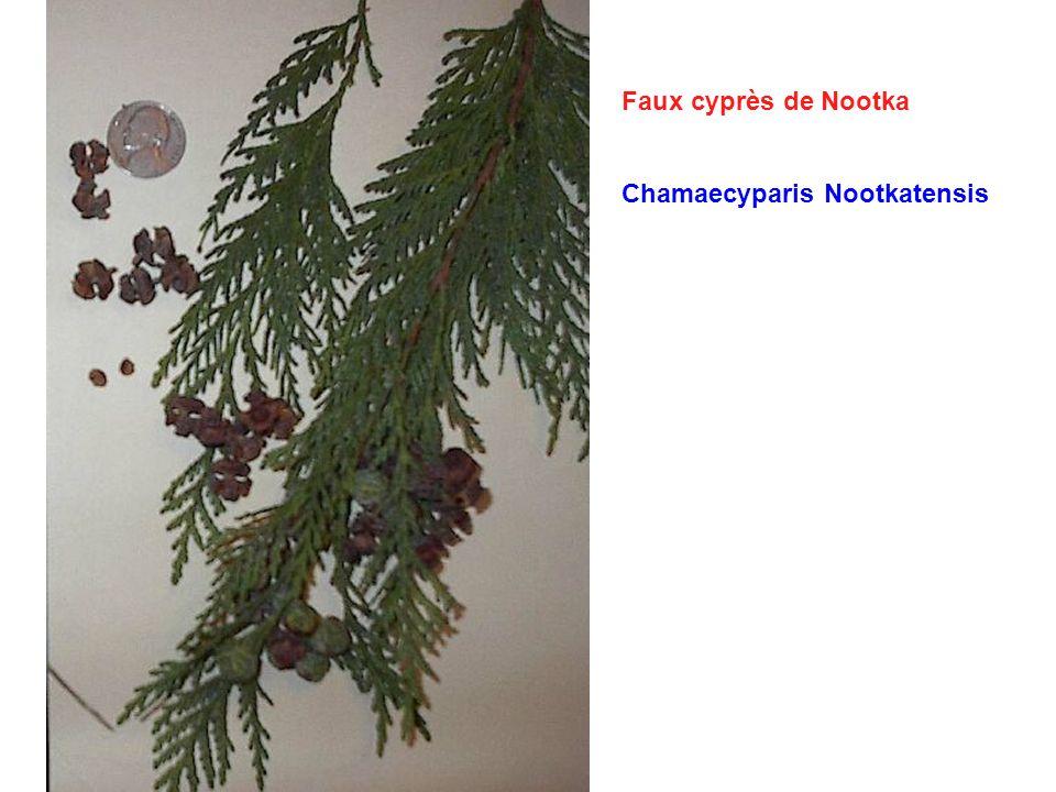 Faux cyprès de Nootka Chamaecyparis Nootkatensis