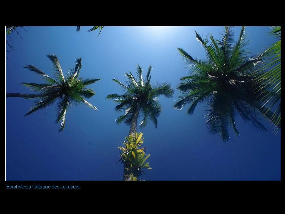 Epiphytes à lattaque des cocotiers