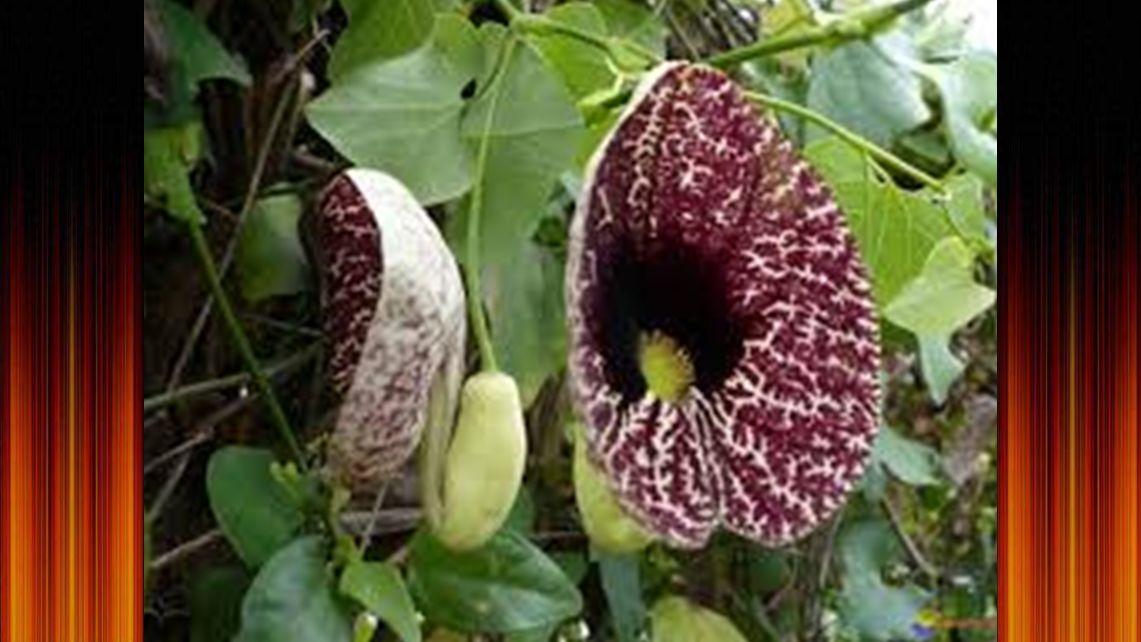 l' arum titan, originaire de la arum titan forêt tropicale de Sumatra l ', originaire de la forêt tropicale de Sumatra arum titanforêt tropicale de Su