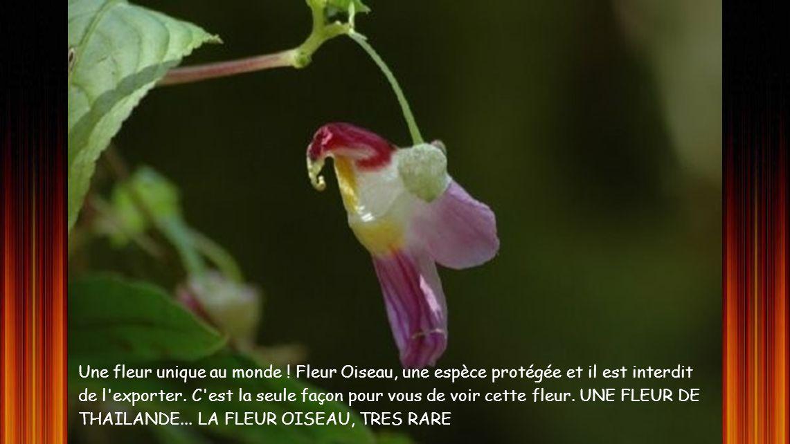 Une fleur unique au monde .Fleur Oiseau, une espèce protégée et il est interdit de l exporter.