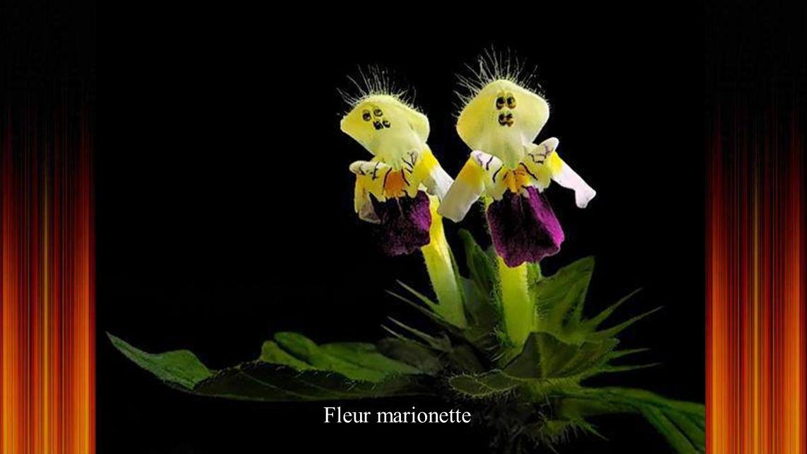 Jade Fleur. Une des fleurs les plus rares dans le monde Il sagit dune plante grimpante ornementale, originaire des Philippines, appartenant à la famil