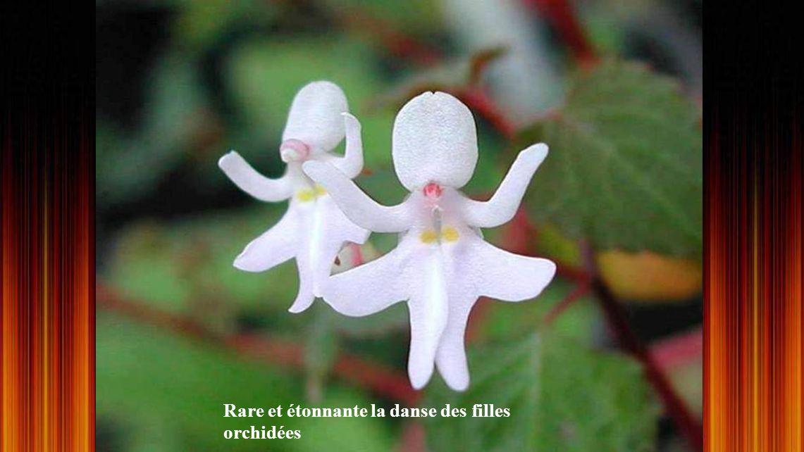Roridula gorgoniae, plante carnivore,