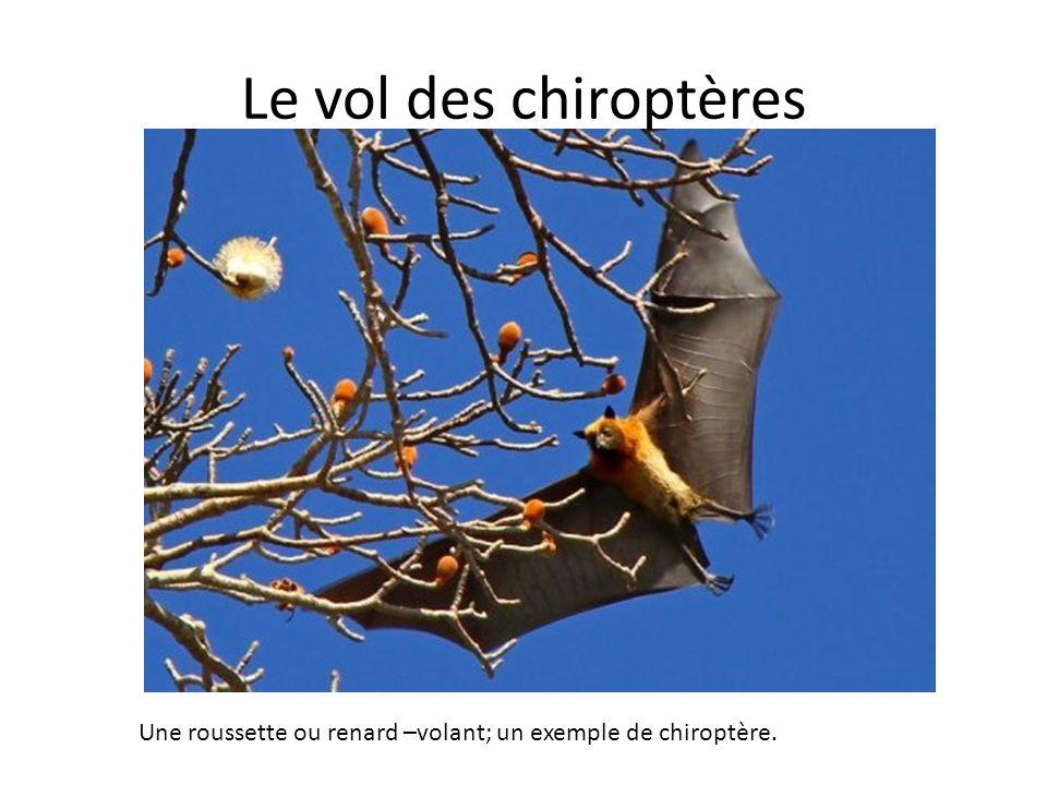 Le vol des chiroptères Une roussette ou renard –volant; un exemple de chiroptère.