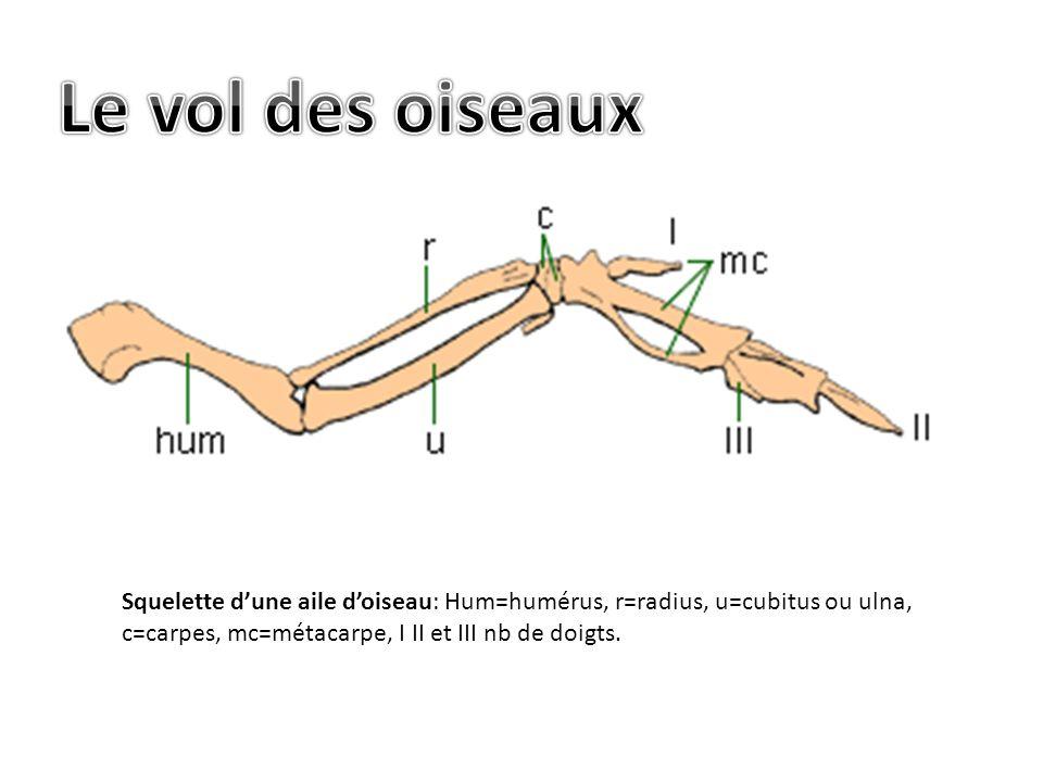 Squelette dune aile doiseau: Hum=humérus, r=radius, u=cubitus ou ulna, c=carpes, mc=métacarpe, I II et III nb de doigts.