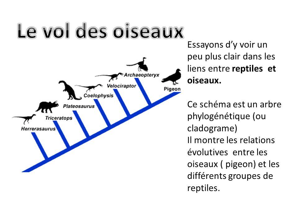 Essayons dy voir un peu plus clair dans les liens entre reptiles et oiseaux.