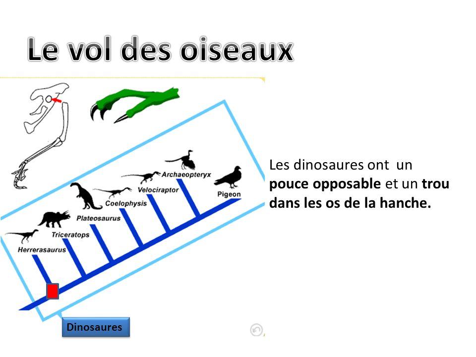 Les dinosaures ont un pouce opposable et un trou dans les os de la hanche. Dinosaures