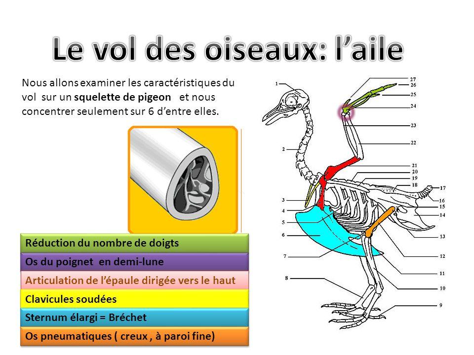 Nous allons examiner les caractéristiques du vol sur un squelette de pigeon et nous concentrer seulement sur 6 dentre elles.