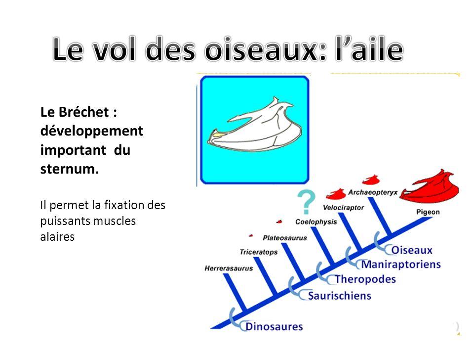 Le Bréchet : développement important du sternum.