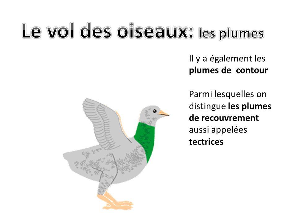 Il y a également les plumes de contour Parmi lesquelles on distingue les plumes de recouvrement aussi appelées tectrices