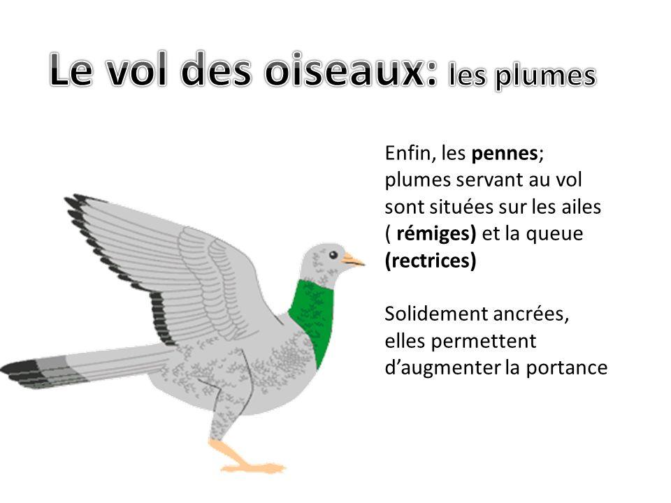 Enfin, les pennes; plumes servant au vol sont situées sur les ailes ( rémiges) et la queue (rectrices) Solidement ancrées, elles permettent daugmenter la portance