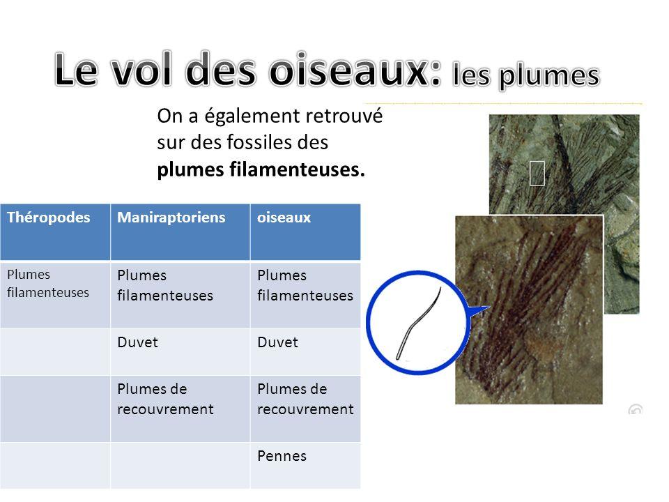ThéropodesManiraptoriensoiseaux Plumes filamenteuses Duvet Plumes de recouvrement Pennes On a également retrouvé sur des fossiles des plumes filamenteuses.