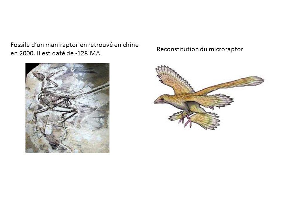 Fossile dun maniraptorien retrouvé en chine en 2000. Il est daté de -128 MA. Reconstitution du microraptor