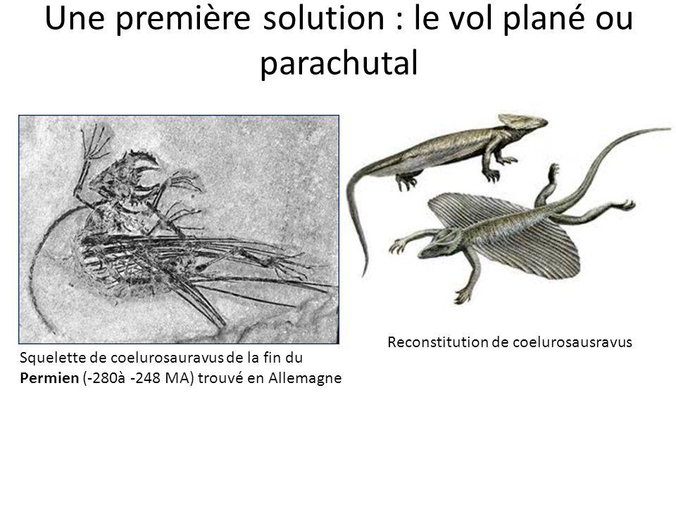Une première solution : le vol plané ou parachutal Squelette de coelurosauravus de la fin du Permien (-280à -248 MA) trouvé en Allemagne Reconstitution de coelurosausravus