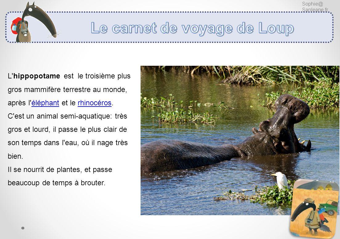 Sophie@ Sanleane.fr L'hippopotame est le troisième plus gros mammifère terrestre au monde, après l'éléphant et le rhinocéros. C'est un animal semi-aqu