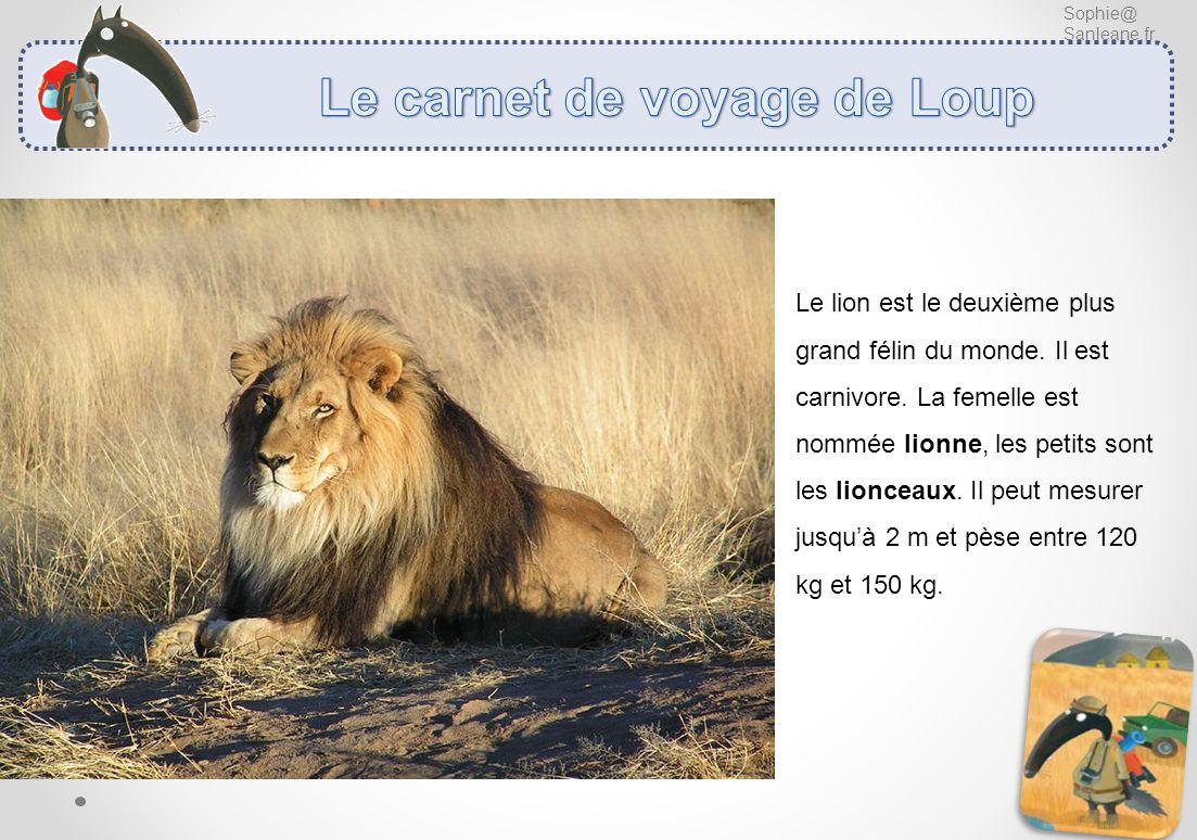 Sophie@ Sanleane.fr Le lion est le deuxième plus grand félin du monde. Il est carnivore. La femelle est nommée lionne, les petits sont les lionceaux.