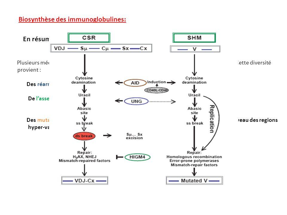 Biosynthèse des immunoglobulines: En résumé Plusieurs mécanismes concourent à la diversité des anticorps synthétisés par un individu, Cette diversité