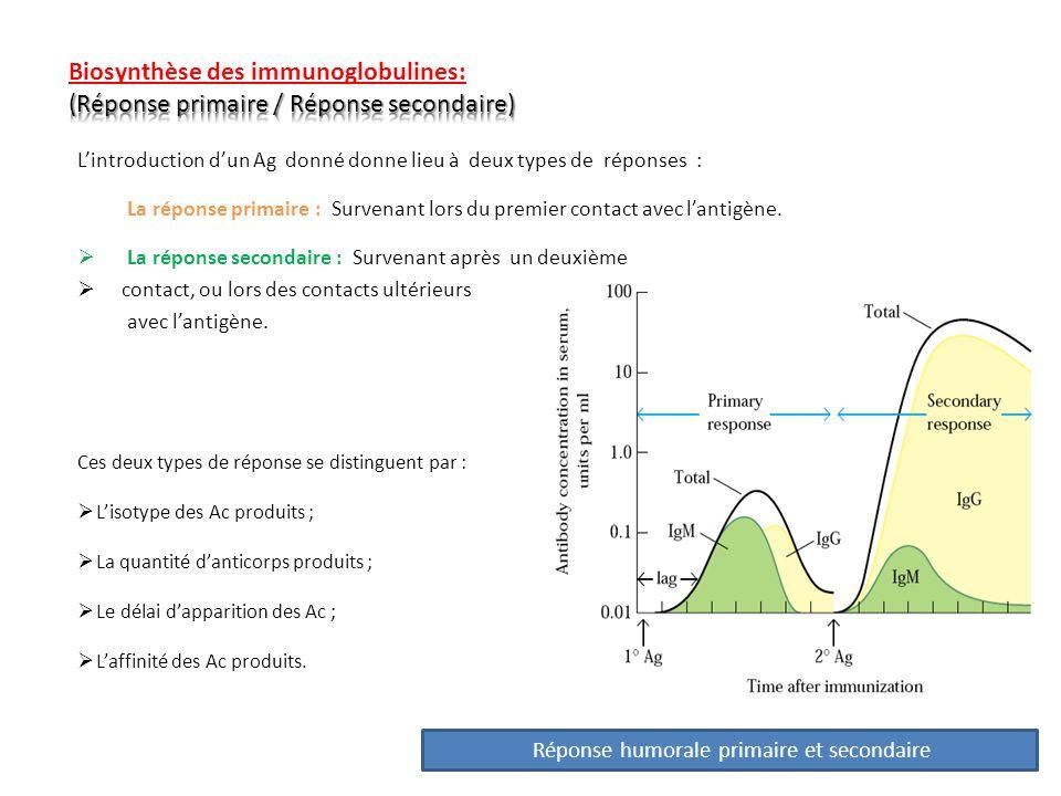 Lintroduction dun Ag donné donne lieu à deux types de réponses : La réponse primaire : Survenant lors du premier contact avec lantigène. La réponse se