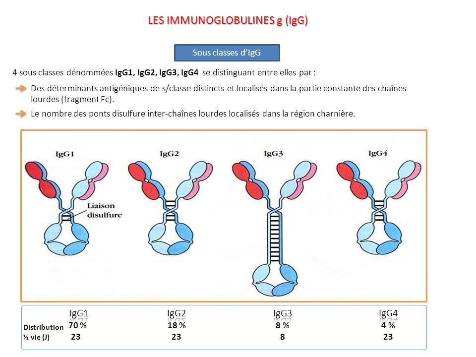 4 sous classes dénommées IgG1, IgG2, IgG3, IgG4 se distinguant entre elles par : Des déterminants antigéniques de s/classe distincts et localisés dans
